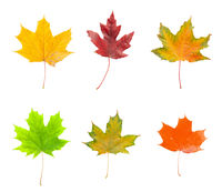 Set of green, red and yellow maple leaves