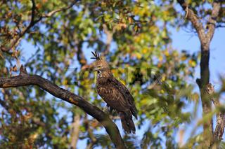 Changeable hawk-eagle, Nisaetus cirrhatus. Crested Hawk eagle. Kanha Tiger Reserve, Madhya Pradesh, India