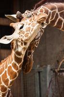Rothschild giraffe (Giraffa camelopardalis rothschildi) in a Zoo