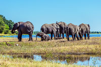 Elephants adults and cubs crossing river