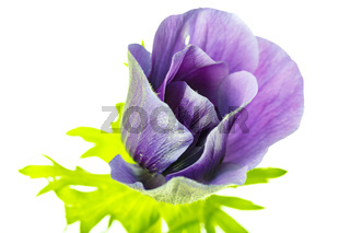 Pflanzenportrait, Anemone