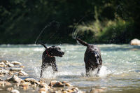Two black Labrador Retrievers play together in the water