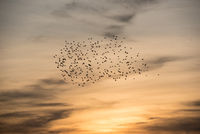 flock of birds at dawn