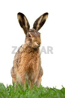 European brown hare, lepus europaeus in summer on green grass isolated on white.
