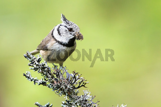 European crested tit sitting on a lichen covered twig in summer