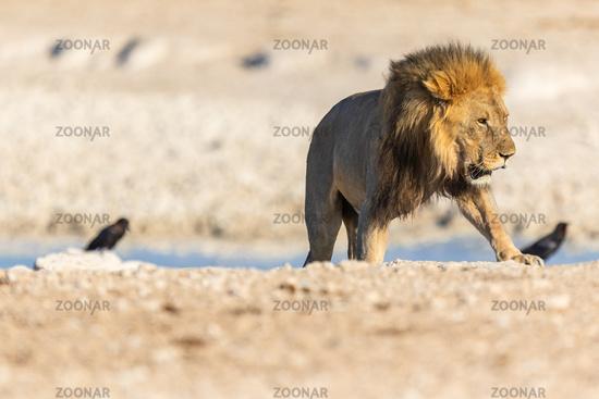 Lion (Panthera leo) in Namibia