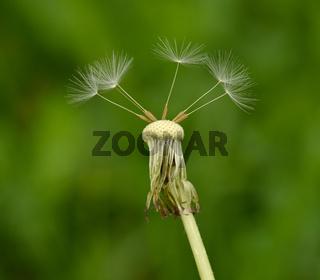 Loewenzahn; taraxacum; Samenstand;