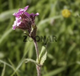 Lichtnelke  (Silene dioica)