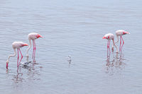 Flamingos in search of food Namibia