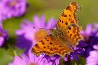 Polygonia c-album on a aster in autumn