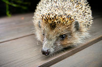Hedgehog on wooden boards looks in camera