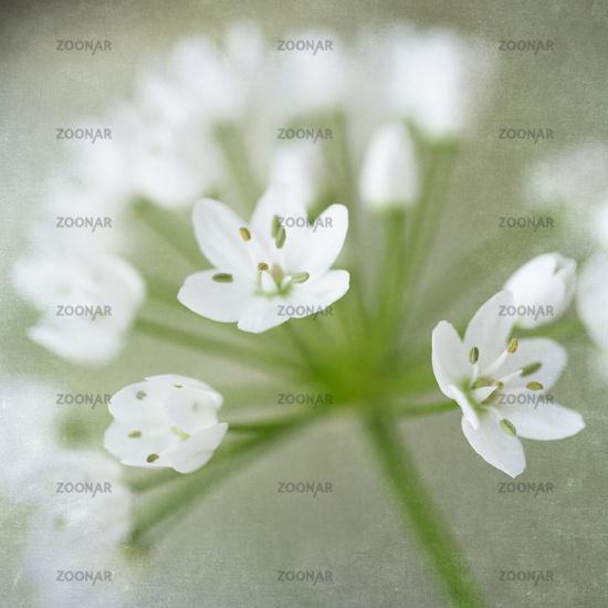 Naples leek (Allium cowanii) with superimposed texture