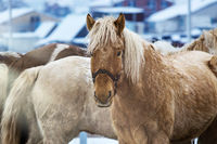 Horses for a walk, in the paddock in winter
