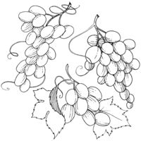 Grape healthy food in a vector style isolated.