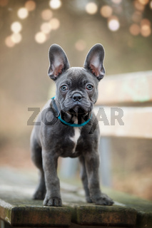 French bulldog puppy on a bench