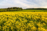 Field of blooming colza, also known as rapeseed (Brassica napus)