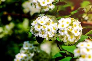 Decorative bush Viburnum or Buldonezh. Viburnum with white flowers.
