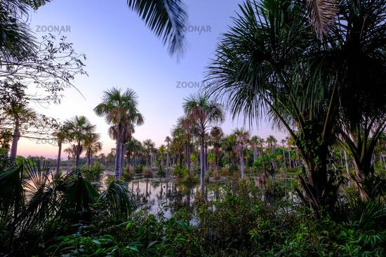 Palm trees in the lagoon Lagoa das Araras at sunrise, Bom Jardim, Mato Grosso, Brazil, South America