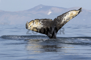 tail humpback whale diving into the waters of the Pacific Ocean against the background of the island of Bering