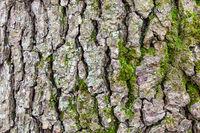 cracked bark on old trunk of alder tree close up