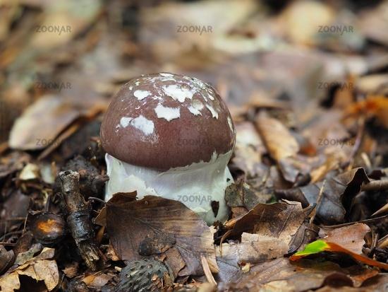 goliath webcap, Cortinarius praestans
