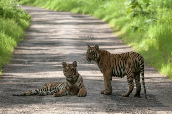 Tiger Cubs on Road at Tadoba, Chandrapur, Maharashtra, India.