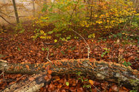 Branch with rainbow bracket in the autumnal, foggy forest,