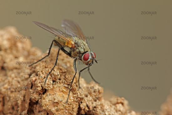 Fly (Brachycera)