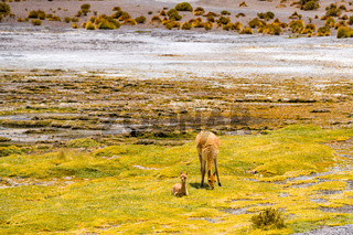 Female Vicuna and the baby grazing at the shore of Canapa Lake