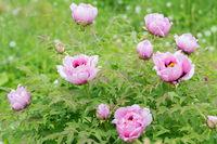 Paeonia suffruticosa flower in the garden