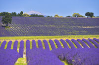 lavender field widely running over hills with mountain top of Mount Ventoux at the horizon