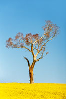 Gum tree standing tall amond the flowering canola