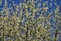 Salix caprea, Pussy willow