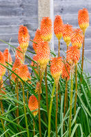 Kniphofia Bengal Fire Blossoming in a Garden