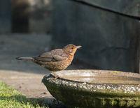 Fledgling European Blackbird drinking from bird bath in Sussex garden during May.