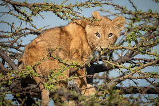 Lion cub stands watching camera in thornbush