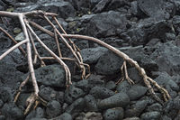 Stelzwurzeln der Roten Mangrove (Rhizophora mangle)