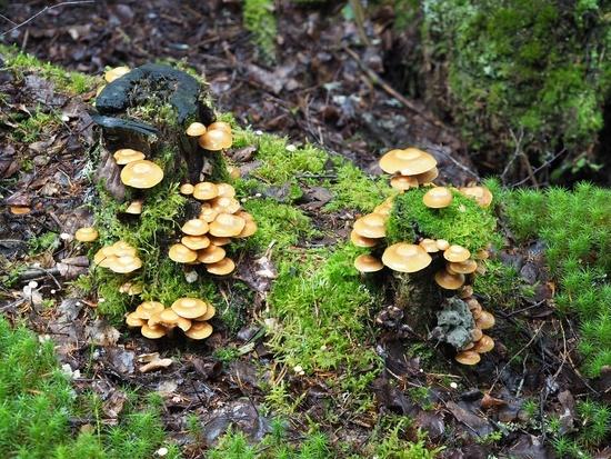Sheathed woodtuft, Kuehneromyces mutabilis