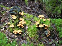 Sheathed woodtuft, Kuehneromyces mutabilis