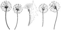 Wildflower dandelion in a vector style isolated.
