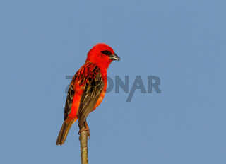 Madagascar bird red fody, wildlife