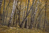 landscape autumn birch grove in yellow tones