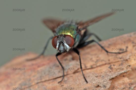 Sheep green blowfly