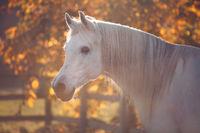 white stallion on glowing colorful autumn tree background