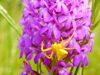 Yellow Crab Spider (Misumena vatia)