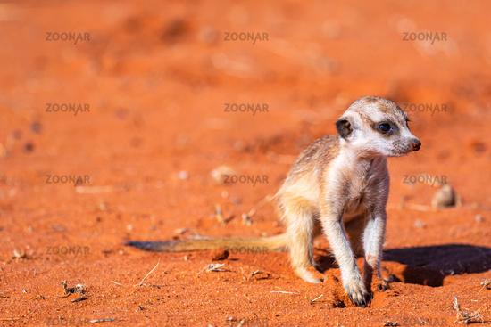 young meerkat or suricate, Suricata suricatta