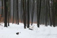 Snow-covered winter forest near Pommelsbrunn, Franconia, Frankenalb, Bavaria