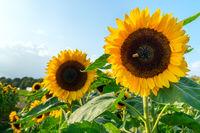 A field with decorative sunflower with orange flowers. Lower Saxony, Germany