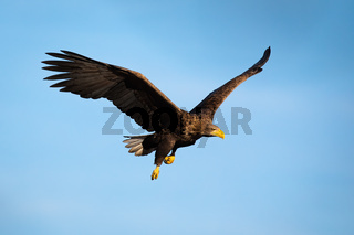 Adult white-tailed eagle flying with blue sky in background