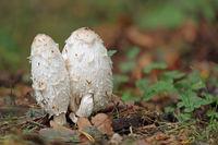 Shaggymane mushroom
